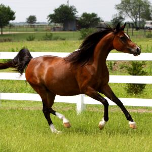 THEE KAJAREE, 2005 bay mare sired by The Minstril x. Thee Lorelei